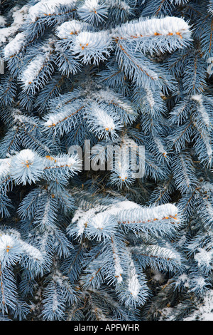 Blue Spruce branches covered in snow - Stock Photo