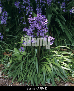 A flowering plant group of Spanish bluebells Hyacinthoides hispanica - Stock Photo