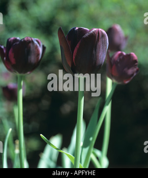 Dark red purple flowers of tulip Queen of the Night - Stock Photo