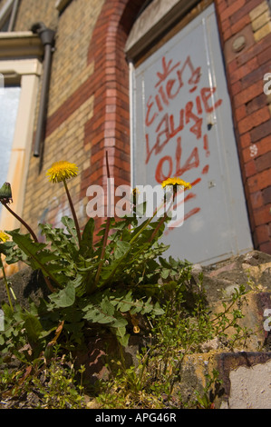 dandelion plant growing on the front doorstep of a boarded up terraced house in Liverpool - Stock Photo