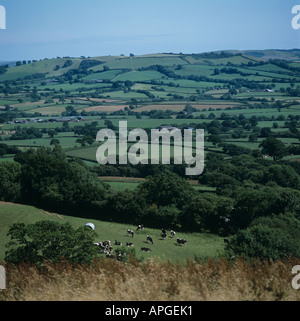 Rolling Devon farmland in summer with small fields trees grazing cattle - Stock Photo