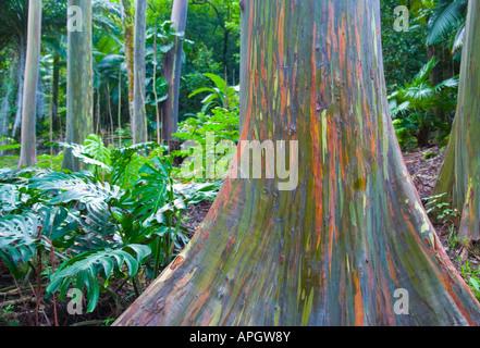 Group of painted gum Eucalyptus trees in Keahua arboretum Maui Hawaii - Stock Photo