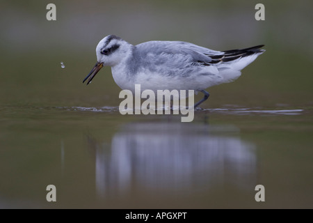 Grey Phalarope Phalaropus fulicarius wading bird in water with reflection - Stock Photo