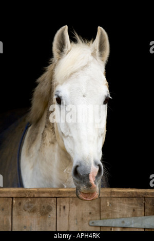 Closeup of a white horse against a black background, behind a wooden stable door. - Stock Photo