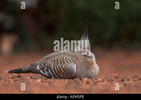 crested pigeon, ocyphaps lophotes resting on the ground - Stock Photo