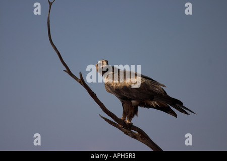 wedge-tailed eagle, aquila audax perched in a tree - Stock Photo