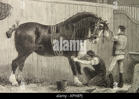 Cart horse being prepared for a judging show from a drawing published in 1880 - Stock Photo