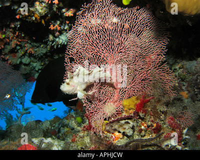 Scorpionfish Red flushed Rockcod and Fan Coral Agincourt Reef Great Barrier Reef North Queensland Australia - Stock Photo