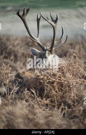 red deer hiding in bracken - Stock Photo