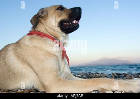 Portrait of a young Mastiff dog. - Stock Photo