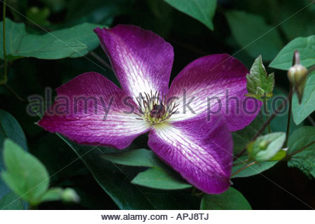 Clematis viticella 'Venosa Violacea' - Stock Photo