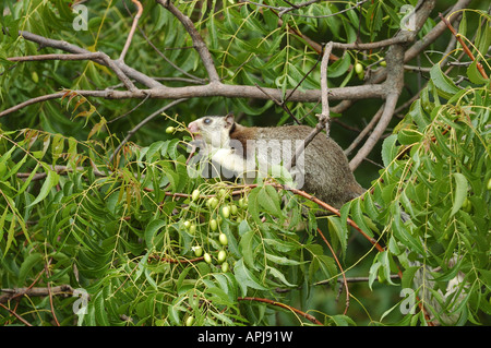 Grizzled Giant Squirrel also known as the Sri Lankan Giant Squirrel feeding on fruit - Stock Photo
