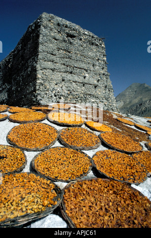 Sunbaked Apricots Apricots laid out in flat baskets to dry in the baking Himalayan sun Altit Fort Karimabad Pakistan - Stock Photo