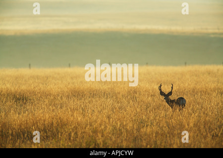 Mule deer buck in velvet on the Canadian Prairies at dawn - Stock Photo
