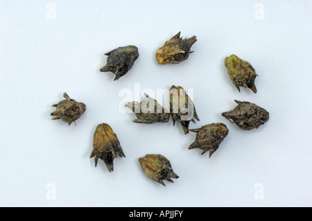 Annual Ragweed, Common Ragweed (Ambrosia artemisiifolia), seeds, studio picture - Stock Photo