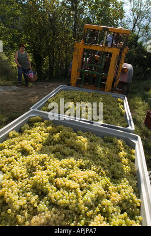 Grape harvest, collecting white grapes in containers with tractor, Alto Adige, Italy - Stock Photo