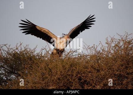 Secretary Bird on a nest carrying a Twig in Tanzania Africa - Stock Photo