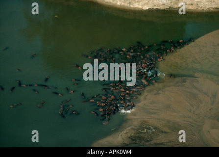 Hippopotamuses in the Luangwa river, North Luangwa National Park, Zambia.  They gather in large herds during the - Stock Photo