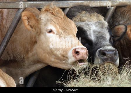 Cattle feed on a farm near Lavenham Suffolk England UK - Stock Photo