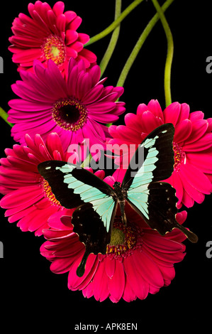 Green and black butterfly on red daisy s