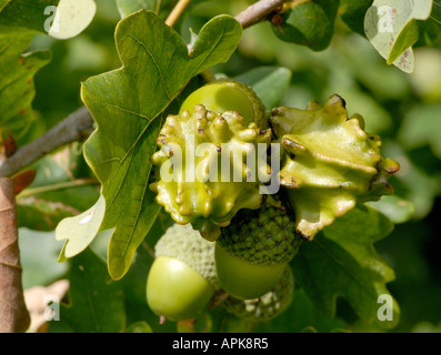 Knopper Galls on the fruit acorn of the Pedunculate or Common Oak Quercus robur - Stock Photo