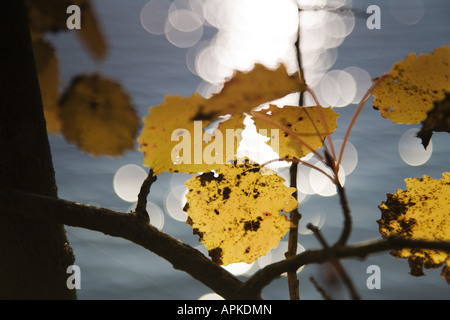 European aspen (Populus tremula), maple leaves in autumn, Germany, Saxony - Stock Photo