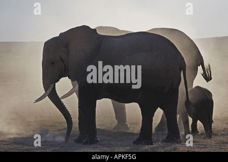 African elephant (Loxodonta africana), in the dust, Kenya, Amboseli National Park - Stock Photo
