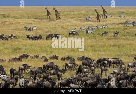 Life on the African savannah during the great migration, Kenya, Masai Mara National Park - Stock Photo