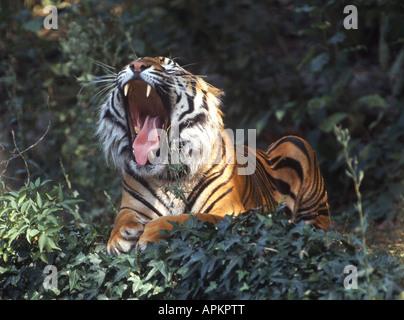 Sumatran tiger (Panthera tigris sumatrae), yawning - Stock Photo