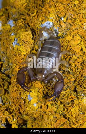Italian scorpion (Euscorpius italicus), on yellow lichens, Greece, Krpathos