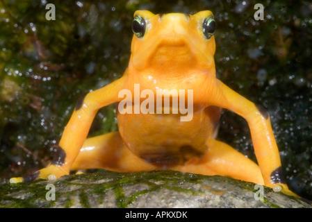 Panamanian Golden Toad, Panamanian Golden Frog (Atelopus zeteki) sitting on a stone - Stock Photo