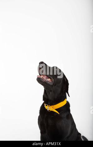 Black Labrador dog portrait - Stock Photo