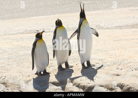 King penguins Aptenodytes patagonicus adults standing The Neck Saunders Island West Falkland South Atlantic Ocean - Stock Photo