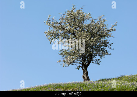 A beautiful Hawthorn standing sentinal high on the fellside - Stock Photo