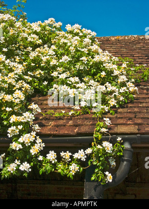 Rose Wedding Day scrambling over a barn roof in June in Wiltshire England UK EU - Stock Photo