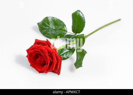 Single Red Rose - Stock Photo