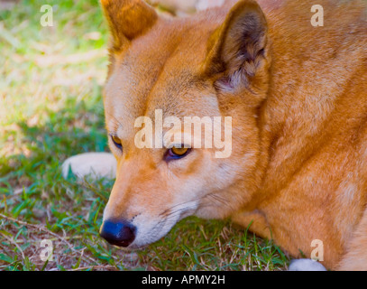 Dingo Canis lupus dingo - Stock Photo
