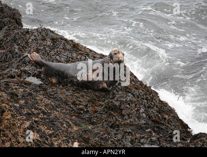 Grey Seal bull Halichoerus grypus basking on bladder wrack on the Pembrokeshire Coast - Stock Photo