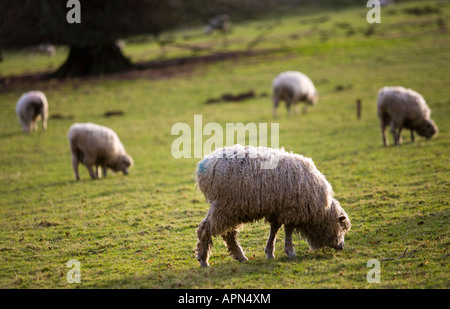 A flock of Cotswold lion sheep in the winter Colesbourne Estate Gloucestershire UK - Stock Photo