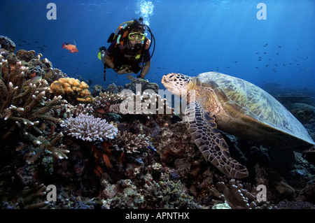 A scuba diver observes a green sea turtle as he rests on the coral reefs of Sipadan Island, Malaysia. - Stock Photo