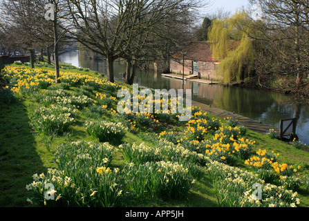 Daffodils in Spring along the riverside in Norwich. - Stock Photo