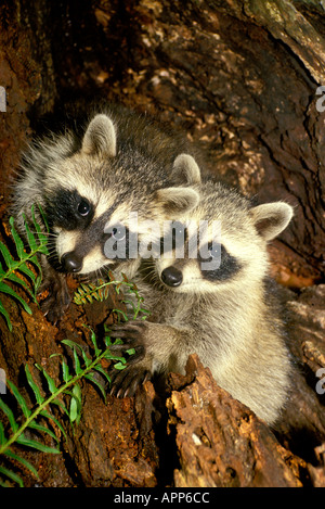 free hq baby raccoon - photo #22