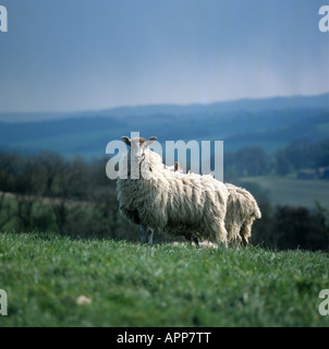North Country mule ewe on grass with long wool before shearing - Stock Photo
