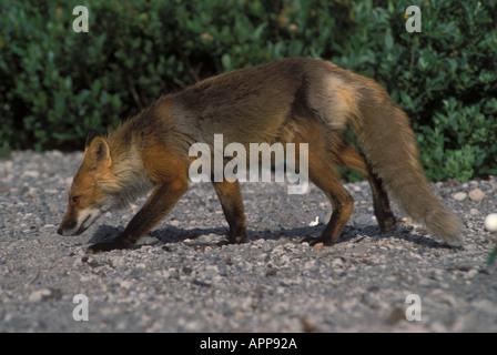 Red fox Vulpes vulpes strolling on gravel Saint Augustine Island Alaska - Stock Photo