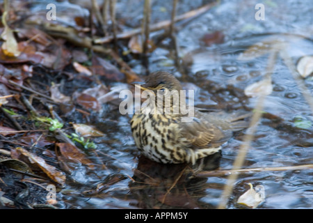SONG THRUSH TURDUS PHILOMENOS BATHING IN WOODLAND POOL - Stock Photo