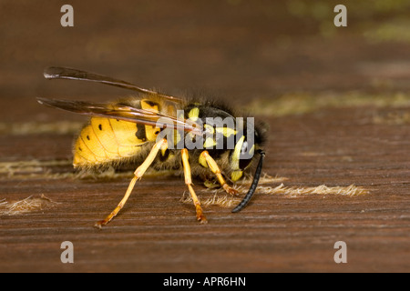 COMMON WASP VESPULA VULGARIS COLLECTING WOOD FIBRE FOR NEST BUILDING - Stock Photo