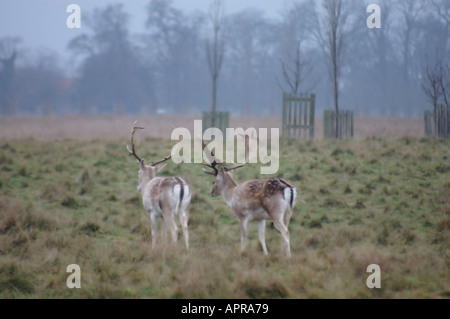 Deer In Home Park Hampton Court On A Misty Morning