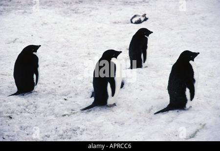 Four Adelie penguins Hope Bay Antarctica - Stock Photo