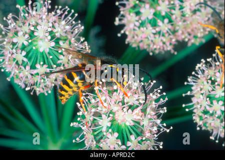 Common Wasp, Vespula vulgaris. Collecting nectar on flower - Stock Photo