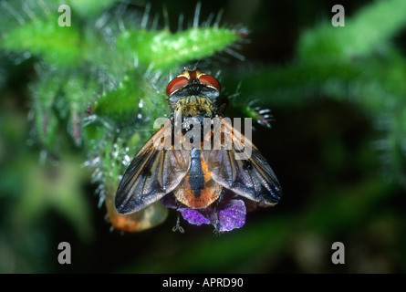 Tachinid Fly, Family Tachinidae. On flower. Top view - Stock Photo